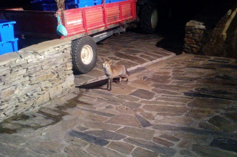 The 'Malvedos Fox' caught in the act of trying to grab the winery team's breakfast (freshly delivered bread in the bag hanging from the trailer).