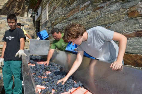 Oscar helps select incoming Touriga Franca grapes on the sorting conveyor.