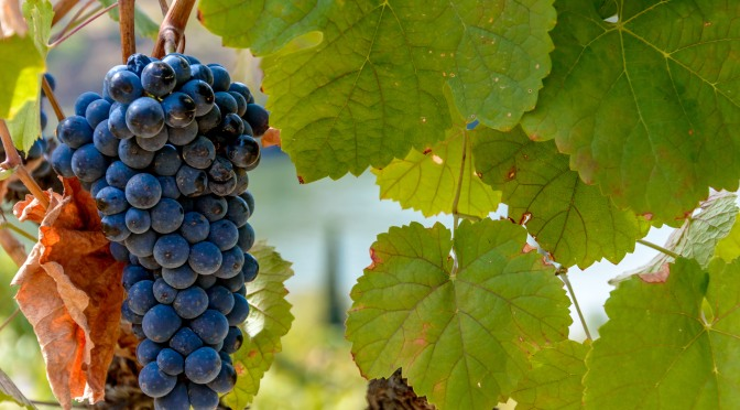 The last grapes from Quinta do Tua