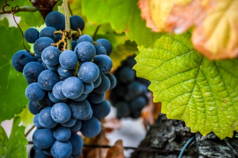 A ripening bunch of Touriga Franca - a variety often seen as the barometer of a good year in the vineyards.