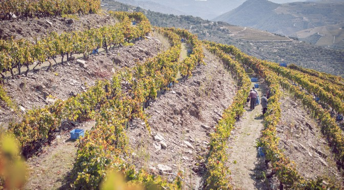 Douro Harvest Report 2015