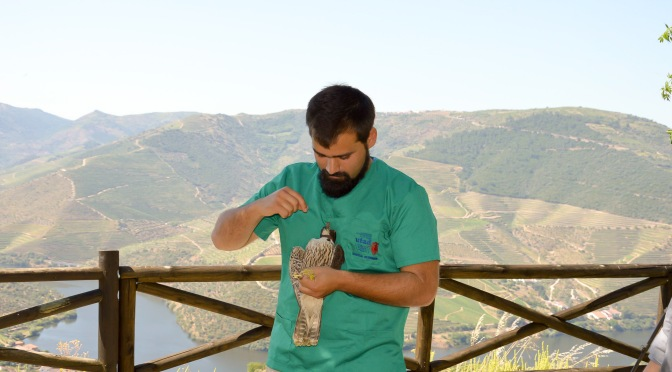 PEREGRINE FALCON RETURNED TO THE WILD AT QUINTA DOS CANAIS