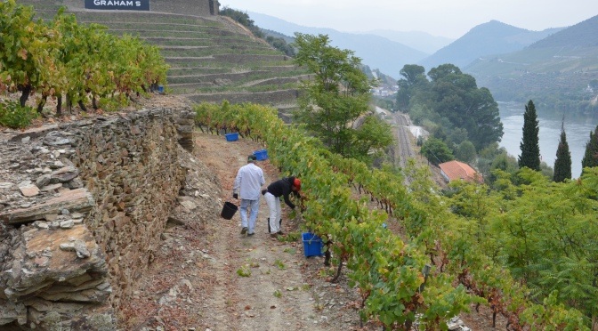 THE STONE TERRACES VINEYARDS HARVESTED
