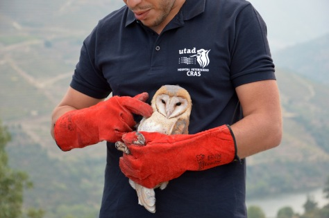 barnowl_malvedos_sept_2016_post