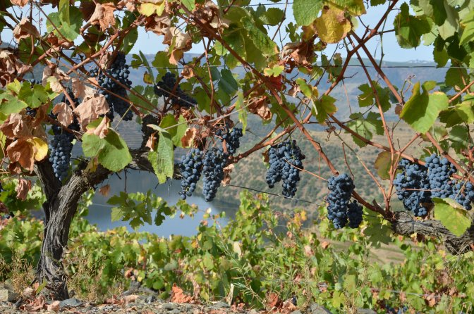 2016 Douro Harvest Report